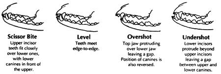 JRTCGB Breed Standard - Mouth
