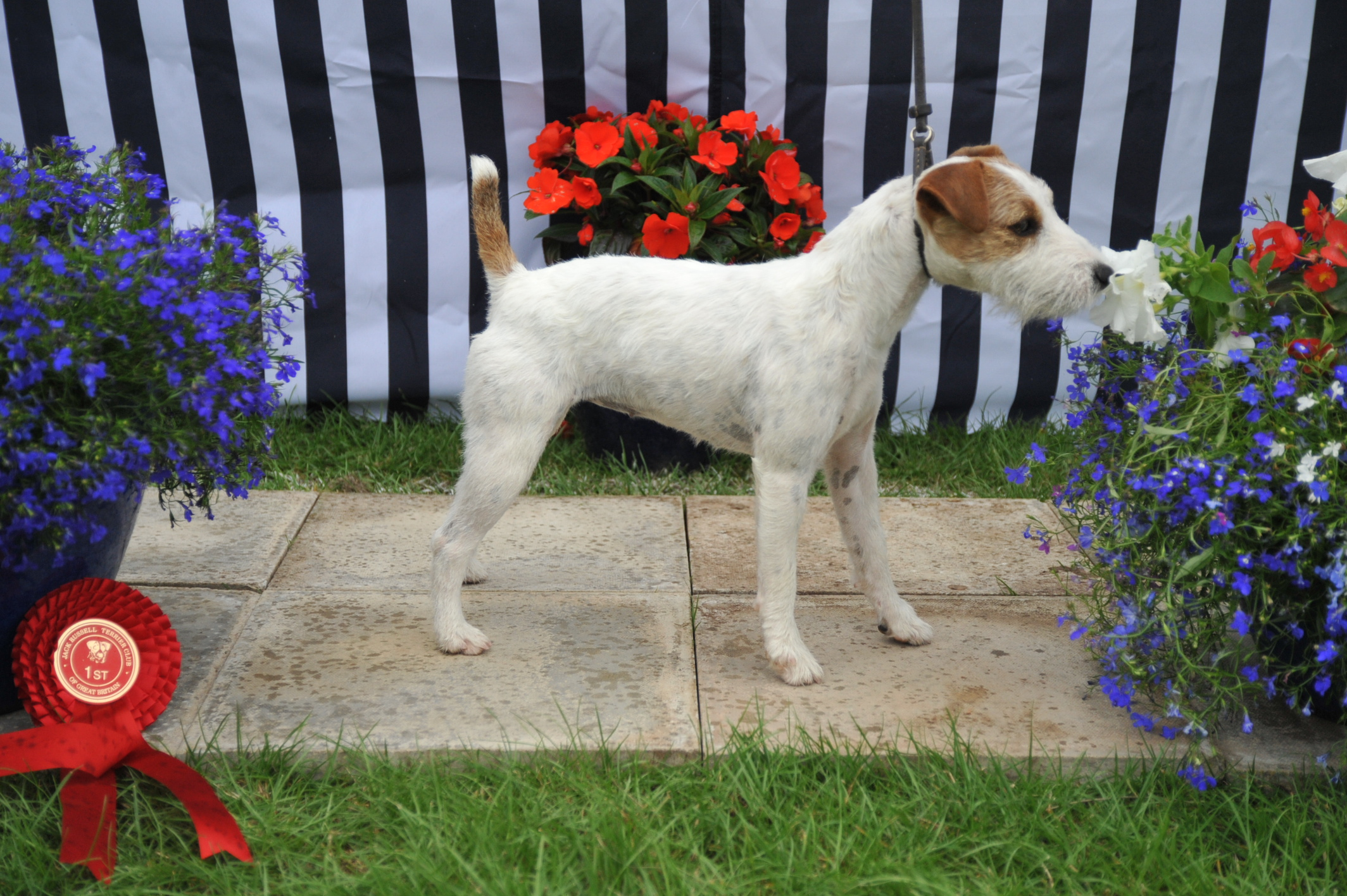 "Class 9 10""-12 1/2"" smooth/rough/broken coated bitch pup (6-9 months) 