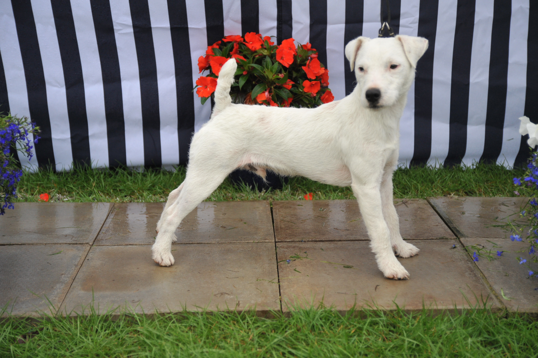 "Class 2 10""-12/5 smooth/rough/broken coated dop pup (9-12 months) 