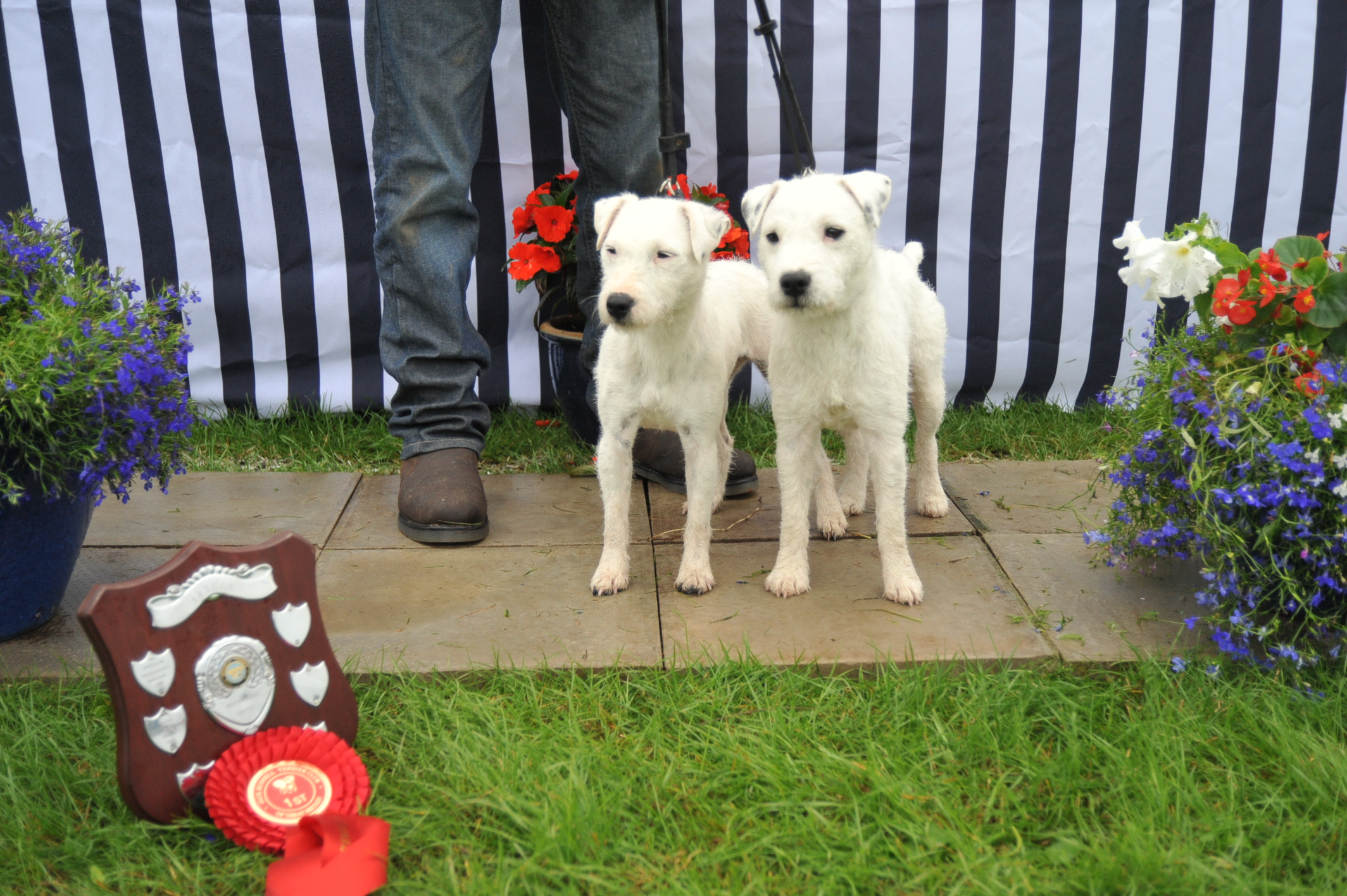 Class 23 Best Matched couple of Terriers | Kellford Murray & Taylor - C&B Branford