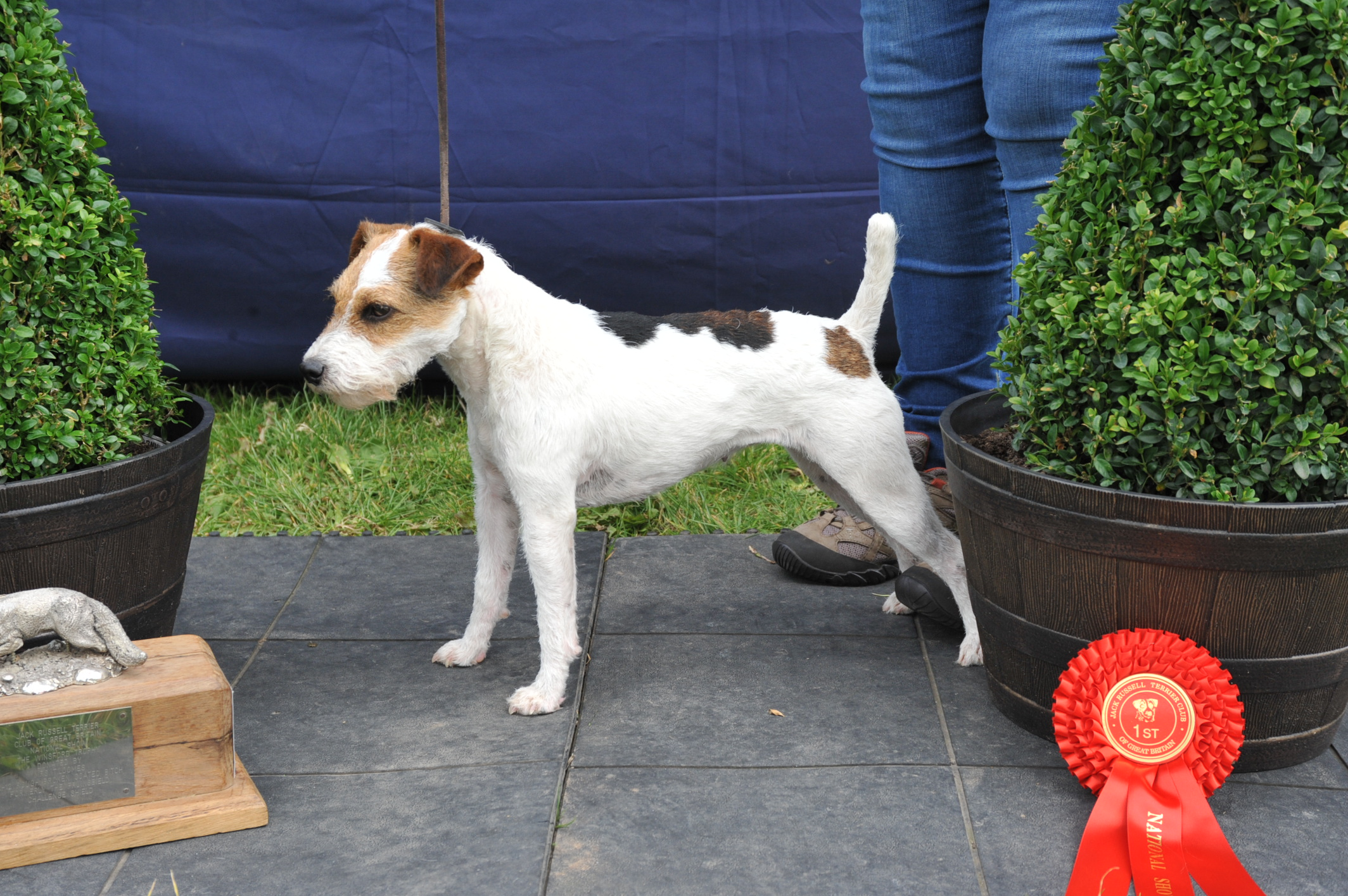 "Class 28 Best 10""-12.5"" Jack Russell Terrier  Brendon Poppy - Francesca Burrows"