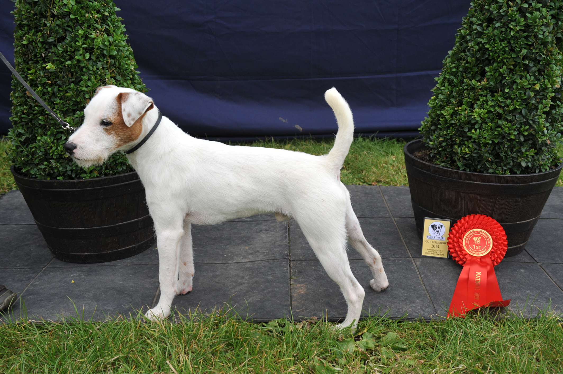 "Class 5 12.5""-15"" Smooth/Rough/Broken Coated Dog pup (6-9 months) Cuchulann Bruce - Hanna Heinonen"