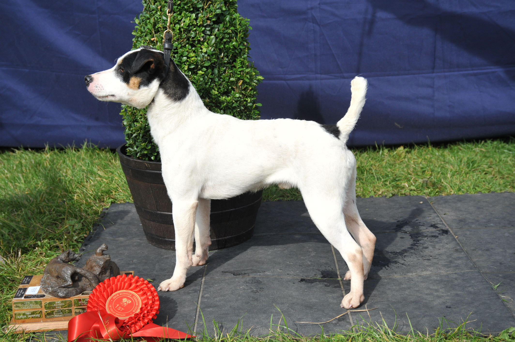 "Class 7 12.5""-15"" Smooth Coated Dog over 1 year old Rushill Judge - M & E Hulme"