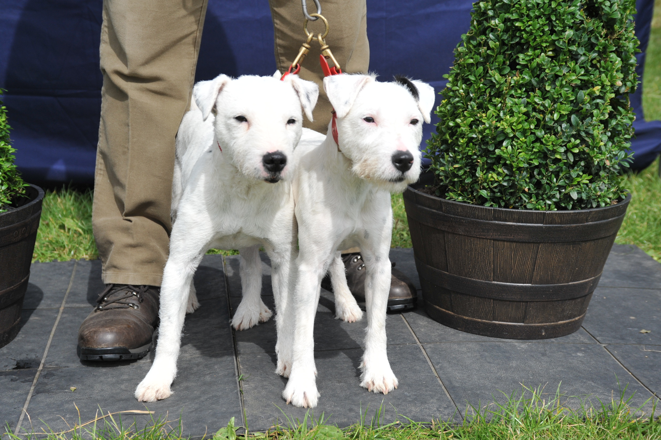 Class 23 Best matched couple of terriers Thornmoore Nipper & Dolly - S. Allibone
