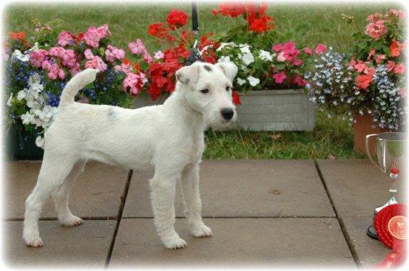 Reserve Best Puppy | Mr Holland's Bramble