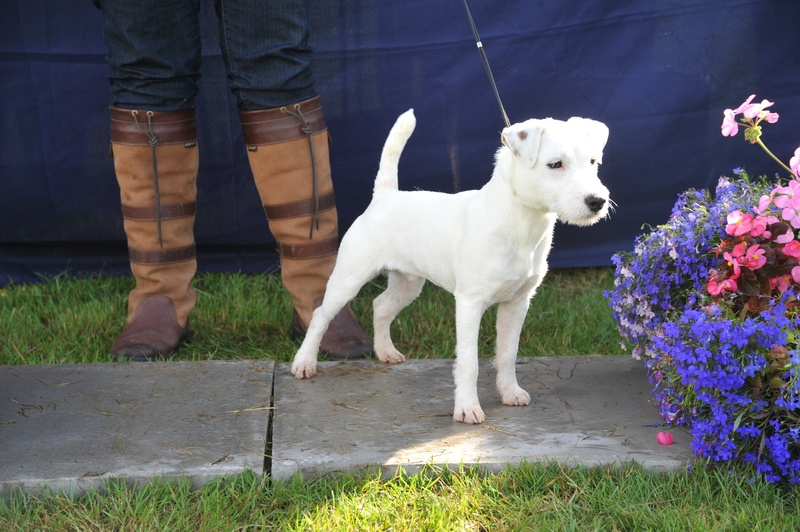"Class 1 10""-12 1/2"" Smooth/Rough/Broken Dog Pup 6-9 months old 