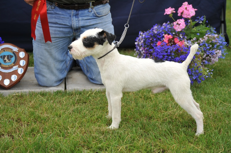 "Class 6 12 1/2""-15"" Smooth/Rough/Broken Coated Dog Pup 9-12 months 