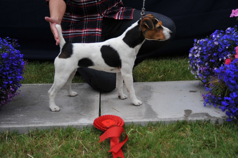 "Class 9 10""-12 ½ ""Smooth/Rough/Broken Coated Bitch pup (6-9 months old) 