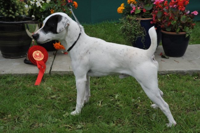 Class 02 Smooth Dog over 1 year | S. Allen - Allen's Buckle