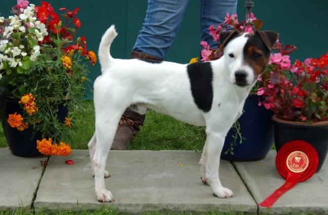 Class 05 Smooth Dog over 1 year | S. Parkin - Foxgrove Tug