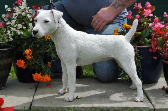 Class 10 Bitch Puppy (6-12 months)D. Mackin - Cuchulann Vixen