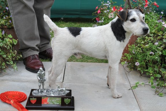 Class 21. Veteran Terrier (7 years and over) | Ted Harris - Brockton Tom