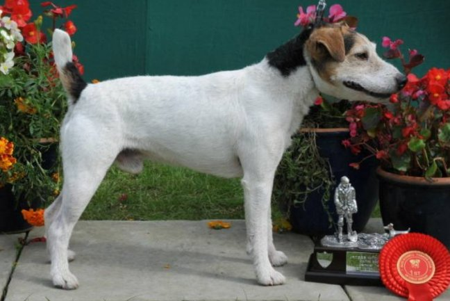 Class 21. Veteran Terrier (7 years or older) | M. Cook - Foxnorton Monty of Santlache