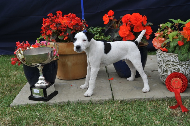 Class 16 4-6 month Pup | H. Mayer - Cardy Bay Dexter