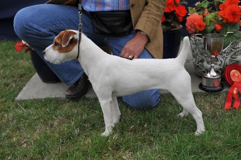 Class 7 10-12 1/2 Bitch Pup (6-12 Months) | J. Massarella - Cadella Katy