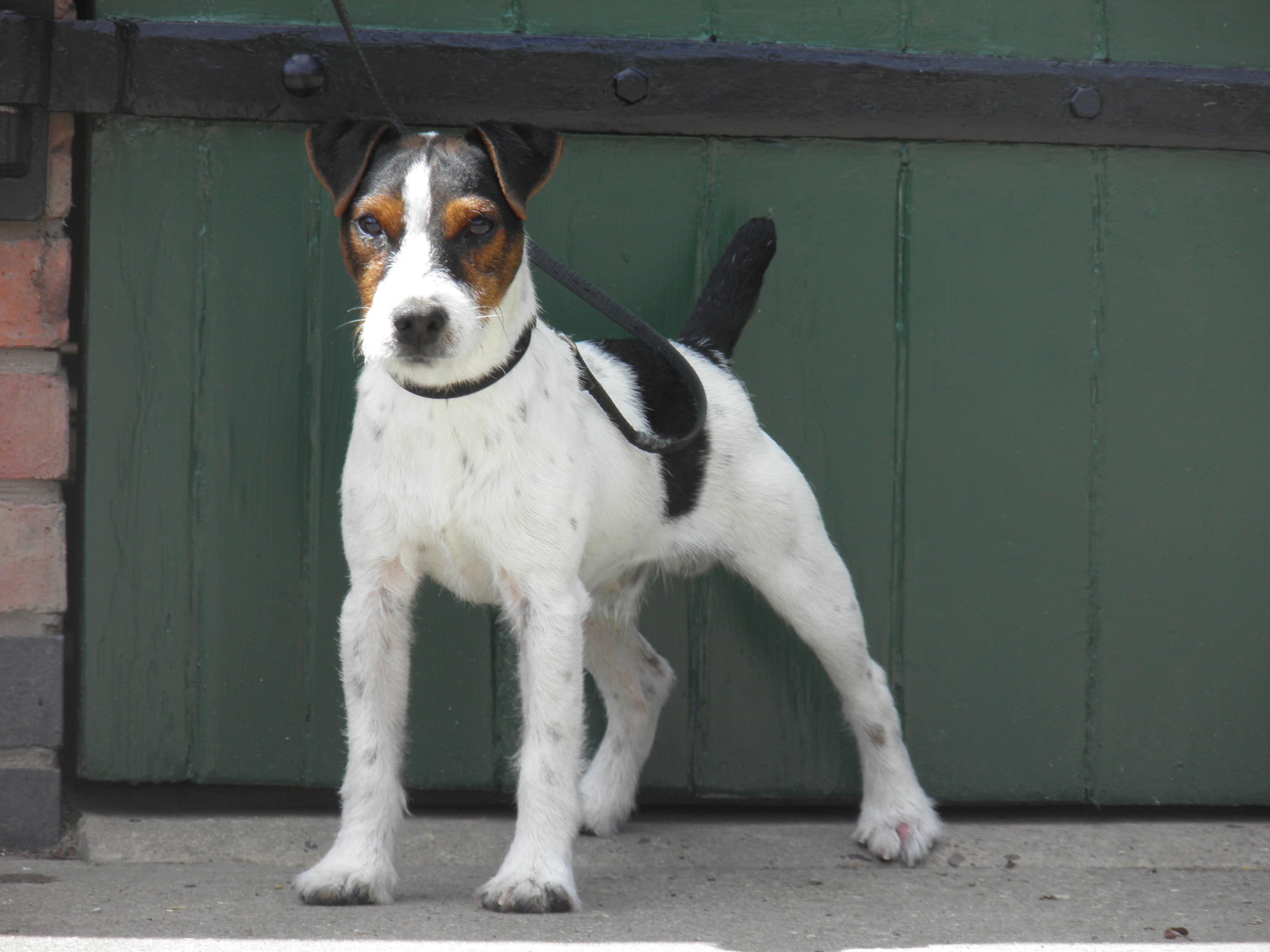 "Class 4. 10""-12.5""Rough/Broken coated dog over 1 year old. Meynell-Sundance Sweeney. Greg Mouseley & Anu Makela."