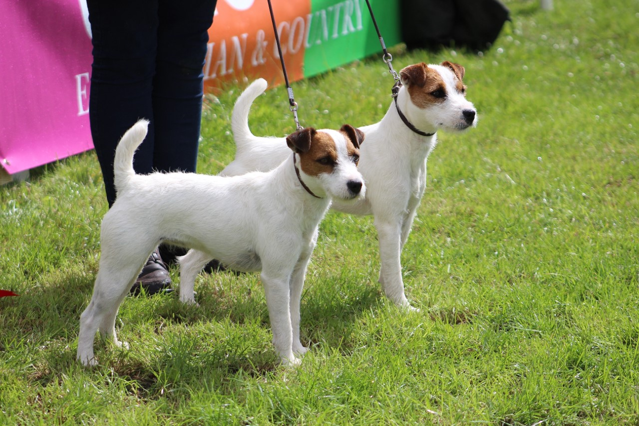 Class 27 Best Matched Couple of Terriers. Cadella Lexi & Elsa, Jane Masserella.